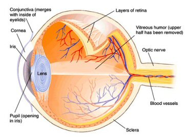 The Human Eye - another case for Creationism
