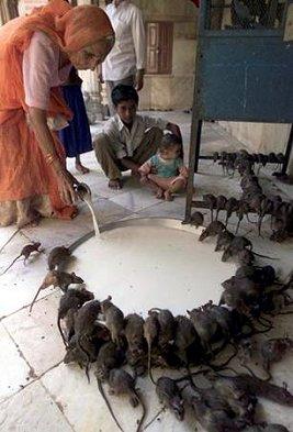 rat worship